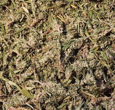 Tygra Hemp Unsorted strip harvested