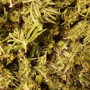 Carmagnola Premium Buds